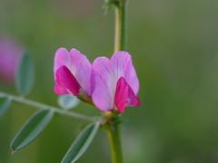Vicia sativa (common vetch, ヤハズエンドウ)