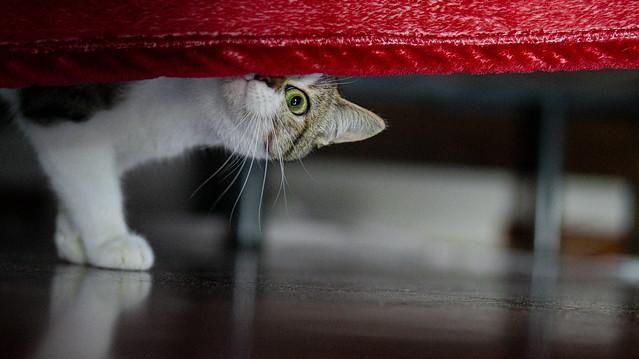 European Cat | Gatto Europeo | 2