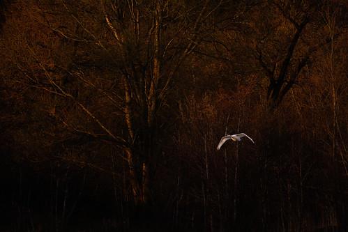 swan trees sunset norfolk broads bird photography wildlife jonathan casey nikon d850 400mm vr f28