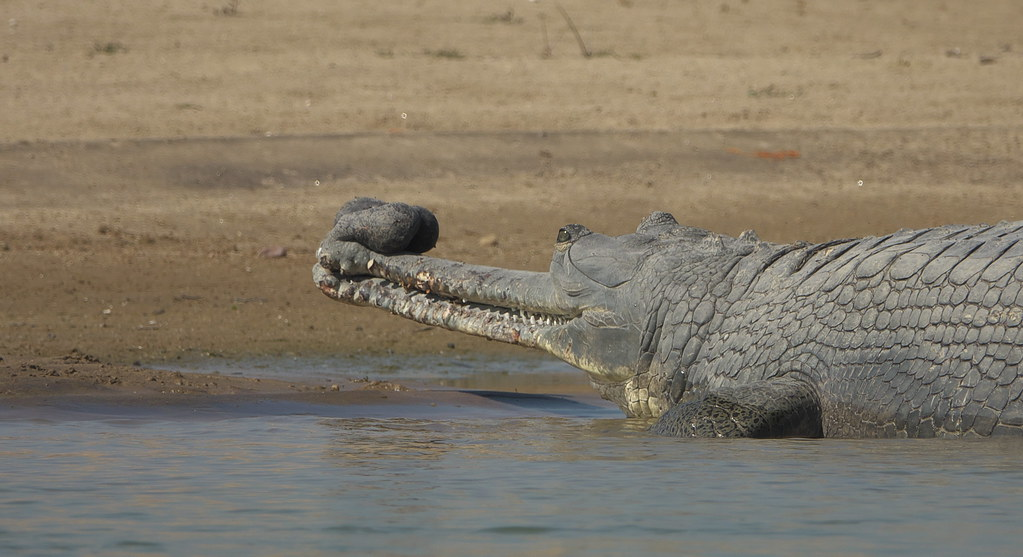 _DSC9049. Indian Gharial, Chambai River.