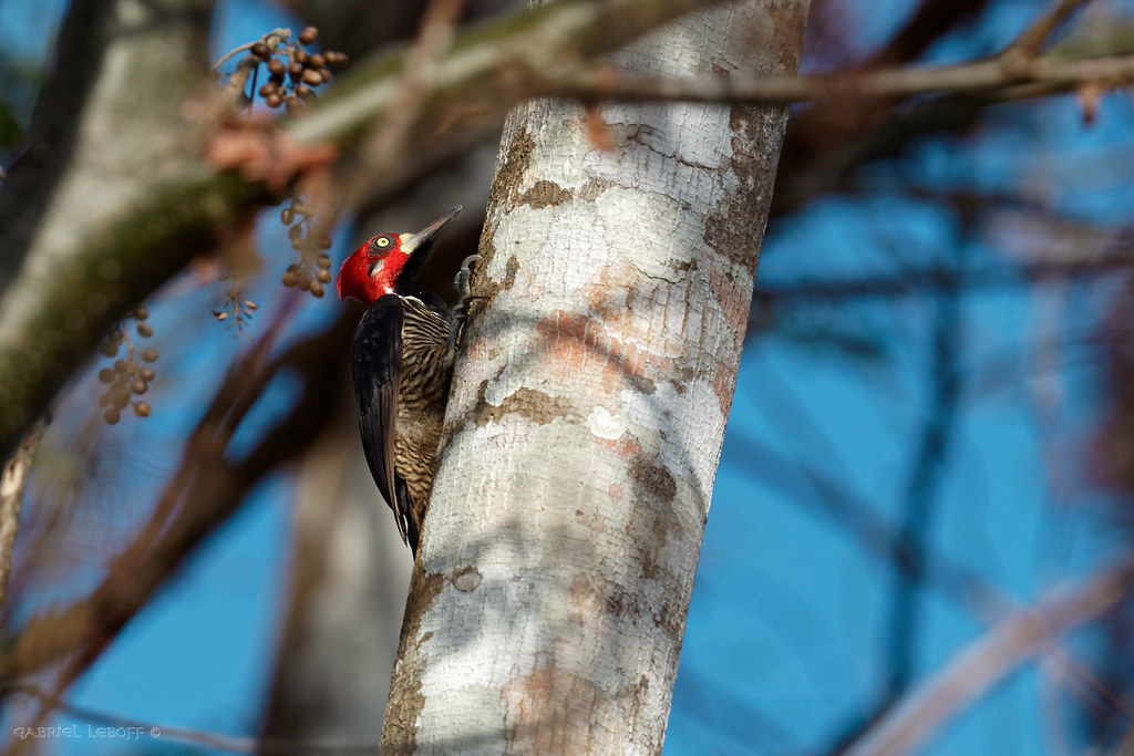 Crimson-crested Woodpecker - Campephilus melanoleucos Pic de Malherbe  5292_DxO