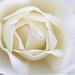 White Rose (III), 4.30.19