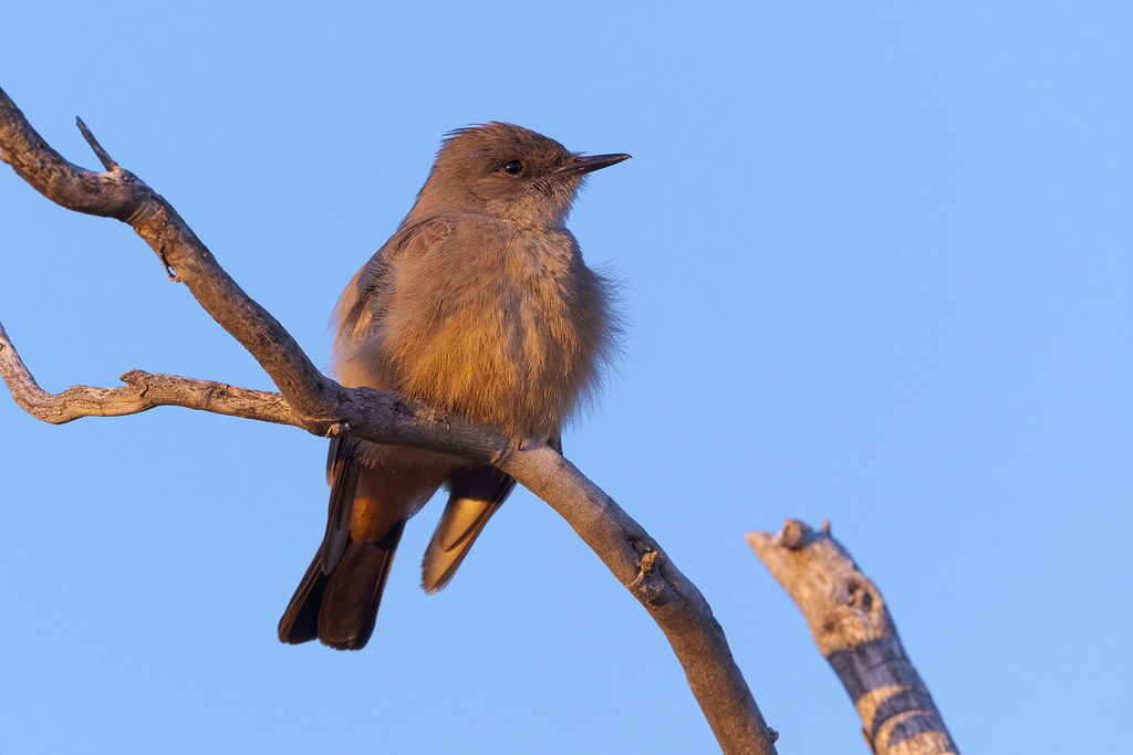A Say's phoebe perches in a tree near sunset at George 'Doc' Cavalliere Park in Scottsdale, Arizona in February 2020