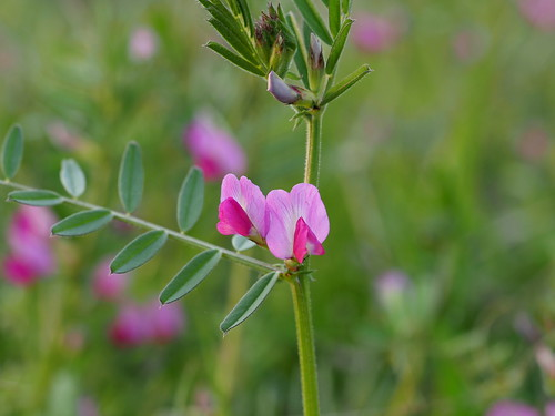 Vicia sativa (common vetch, ヤハズエンドウ) | by Greg Peterson in Japan