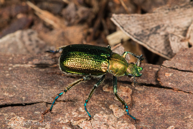 Scarab Beetle (Diphucephala sp.)