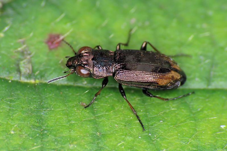Notiophilus biguttatus