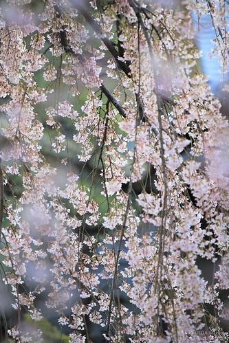 枝垂れ桜 20200320-IMG_8361 (3)