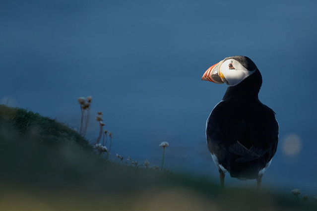 Free Content • Photographing Puffins
