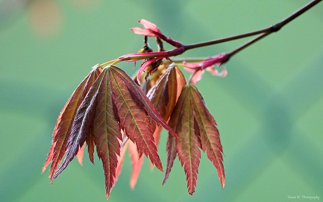Acer. Japanese Green Maple Tree. April 2020