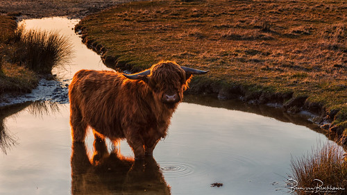 Highland cattle in a puddle