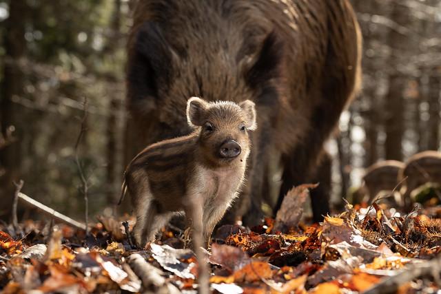 Wild boar hoglet