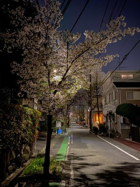Yozakura(夜桜) -Sakura At Night-