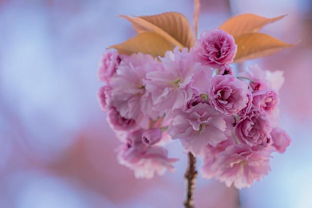 .Cherry-Blossom-Bokeh.