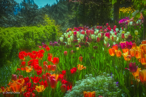 california spring landscape sierranevadafoothills springtime anandavillage lightroom6 nevadacounty topazstudio canon5dmarkiii canon70200mm28l tulipgarden tulips