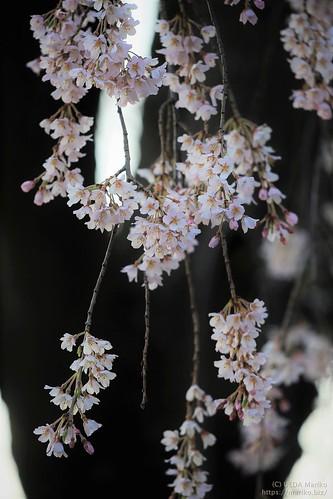 枝垂れ桜 20200320-IMG_8340 (2)
