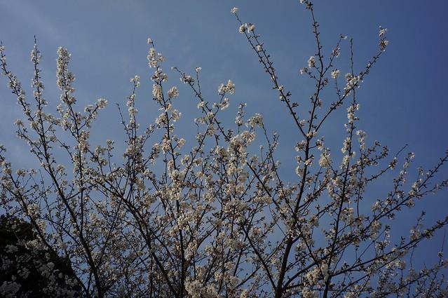 金沢市民芸術村の桜