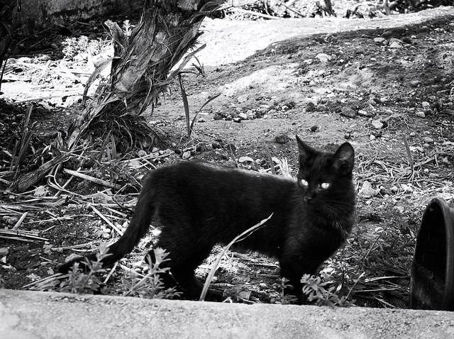 8306 - Black cat