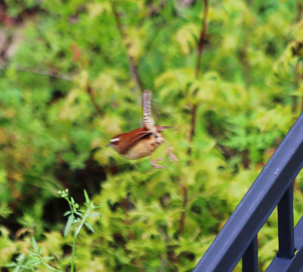 Carolina Wren in Flight