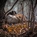 Momma goose nesting