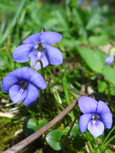 Sunny Sunday: Wild Violets