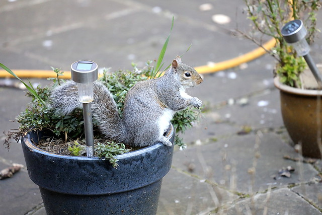 One of our residnt squirels.