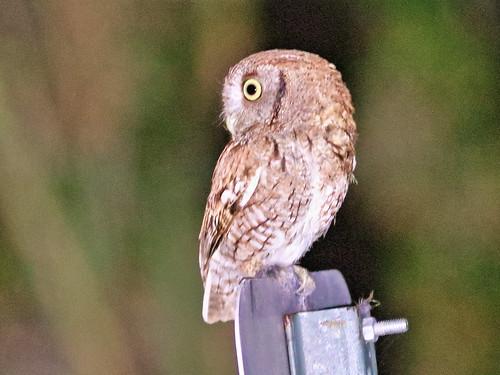 Eastern Screech-Owl 02-20200405