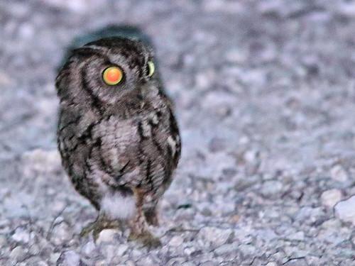 Eastern Screech-Owl 04-20200405