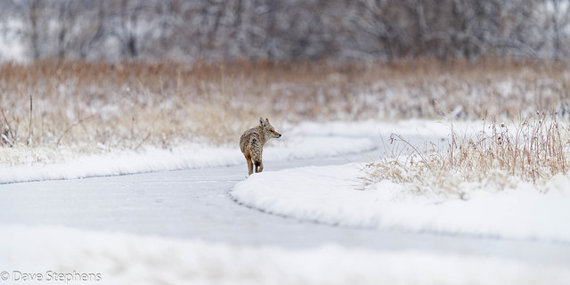 Coyote Strolls On Snow-covered Sidewalk