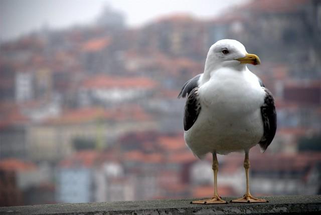 Gaivota / Seagull / Möwe