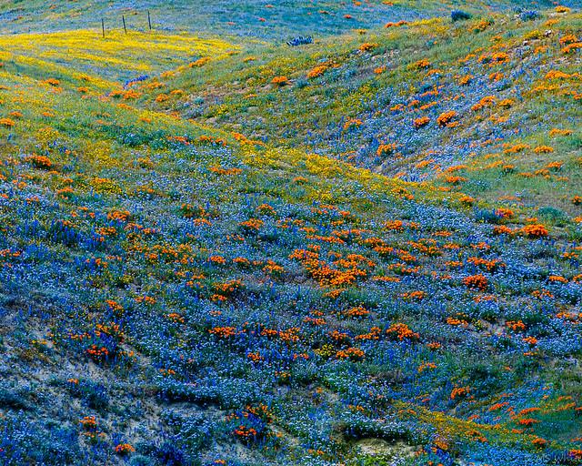 Springtime in California...wild for wildflowers!