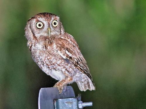 Eastern Screech-Owl 01-20200405