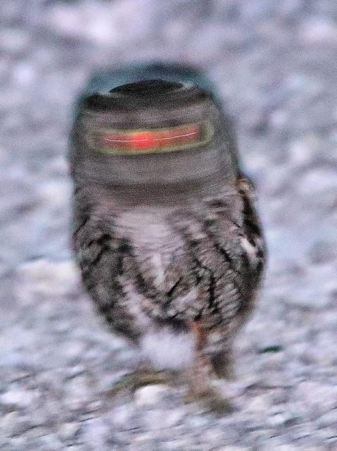 Eastern Screech-Owl 03-20200405