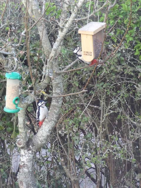 Two Red Woodpeckers!