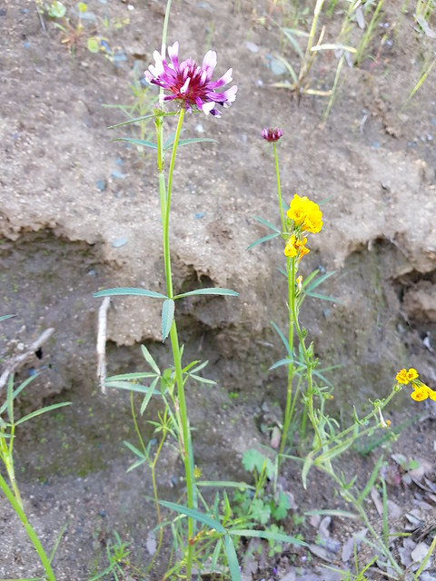 Trifolium willdenovii Spreng. Fabaceae Faboideae-tomcat clover 3