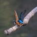 Kingfisher -202004042295.jpg