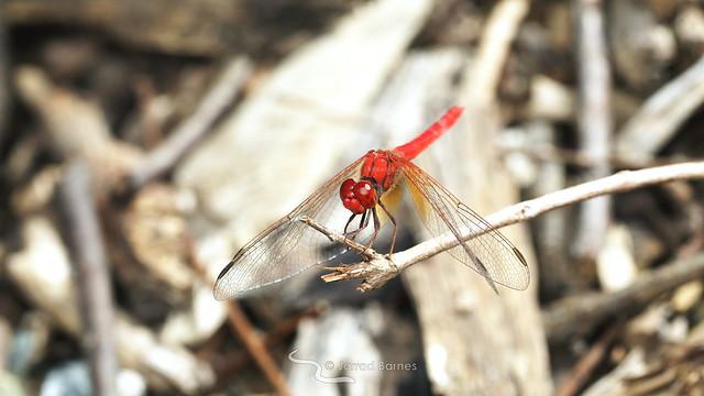 Scarlet percher (Diplacodes haematodes)