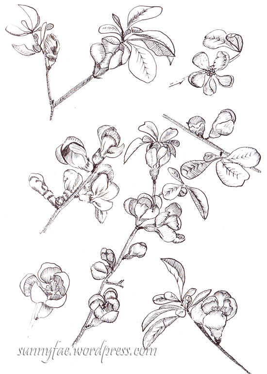 an ink drawing of red quince buds