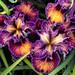 Vivid Iris, 4.2.20