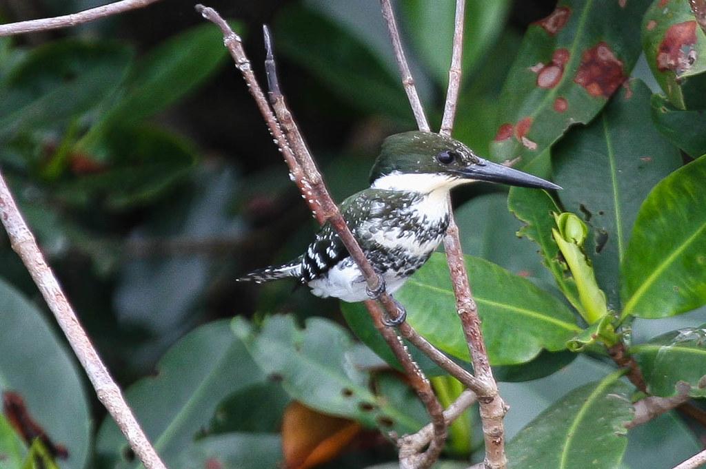 Green Kingfisher 301V8316.jpg