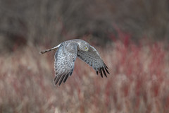 Northern Harrier male