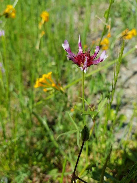 Trifolium willdenovii Spreng. Fabaceae Faboideae-tomcat clover 4
