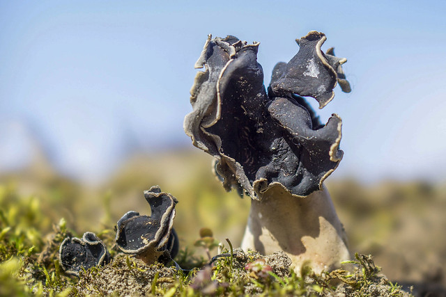 Helvella spadicea (nonnenkapkluifzwam) - Braakman - The Netherlands