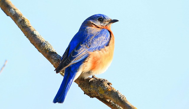 eastern bluebird male at Lake Meyer Park IA 653A3275