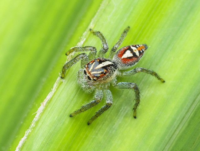 Jumping Spider (Salticidae) 107z-2088132