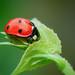 Ladybird Beetle...