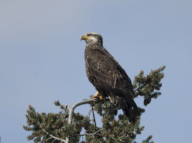 Another view of the immature bald eagle
