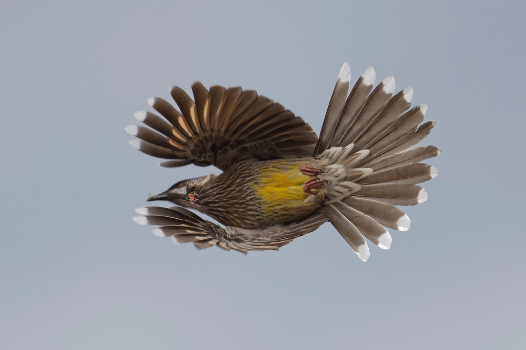 Red Wattlebird- Got It!