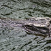 "<p><a href=""https://www.flickr.com/people/187787517@N03/"">adam_photographs04</a> posted a photo:</p>  <p><a href=""https://www.flickr.com/photos/187787517@N03/49741226201/"" title=""Crocodile""><img src=""https://live.staticflickr.com/65535/49741226201_abbfe9926f_m.jpg"" width=""240"" height=""160"" alt=""Crocodile"" /></a></p>"