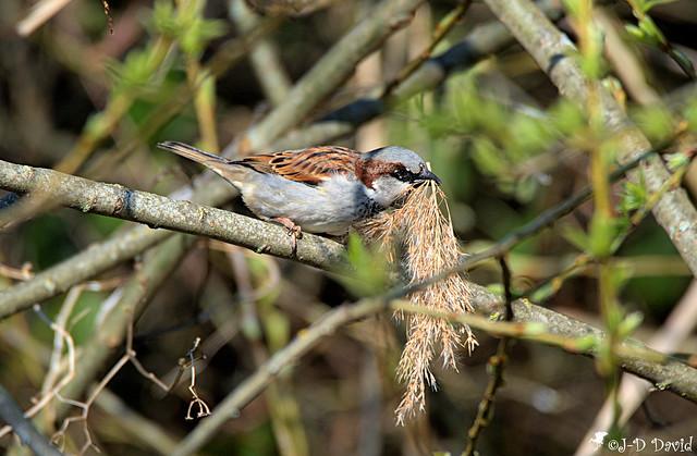 Un plumet de roseau pour le nid