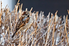 Male House Sparrow 2